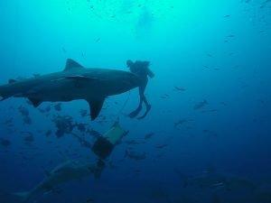 tiburón toro buceo.