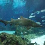 tiburón toro en acuario