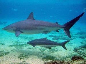 tiburón toro playa del carmen