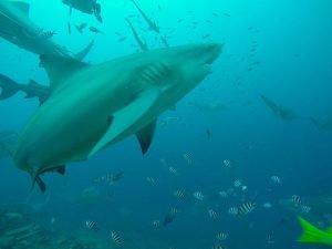 imágenes del tiburón toro