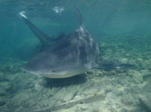 tiburón toro santa clara