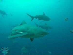 fotos del tiburón toro