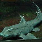 tiburon cuerno, tiburon cuerno huevo,informacion del tiburon cuerno,huevo de tiburon cuerno