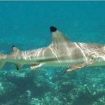 Fotos del tiburon de punta negra