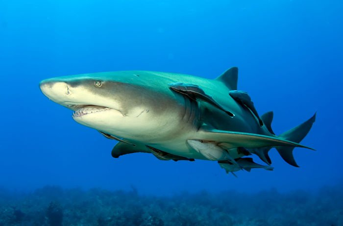 tiburon limon imagenes, tiburon limon bebe, tiburon limon cabo verde, tiburon limon ataque, tiburon limon fotos, tiburon limon que come, tiburon limon tamano