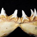Fotos de los dientes del gran tiburon blanco