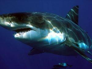 fotos de tiburon blanco gigante, fotos de tiburon blanco atacando, fotos de tiburon blanco mas grande del mundo