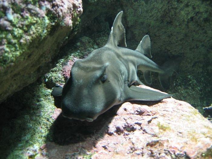 Imagenes del tiburon de port Jacson