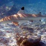 Imagenes del tiburon de punta negra