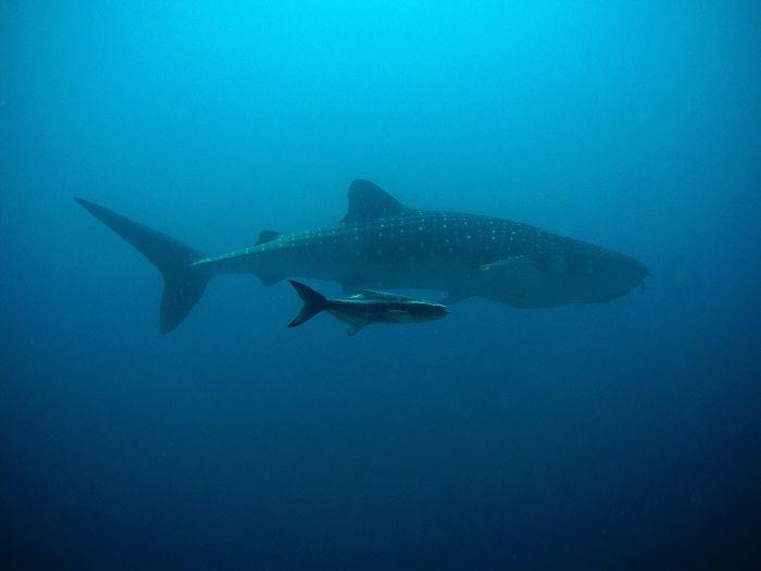 imagenes de el tiburon ballena, imagenes del tiburon ballena mas grande del mundo, imágenes de tiburones y ballenas