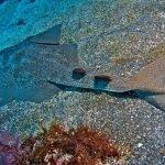 Camuflaje del tiburon angel