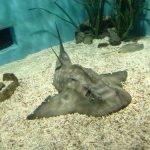 Tiburon angel en acuarios