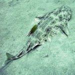 Tiburón ángel imágenes