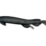 tiburon anguila peso, tiburon anguila peligroso, tiburon anguila sudafricano, tiburones tiburón anguila
