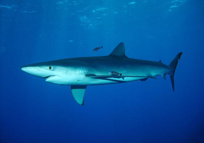 tiburon azul peligroso, tiburon azul en maldonado, tiburon azul aguete, tiburon azul ataca, tiburon azul aguado, tiburon azul azores, tiburon azul acuario, tiburon aleta azul, tiburon azul breña tiburon azul bebe
