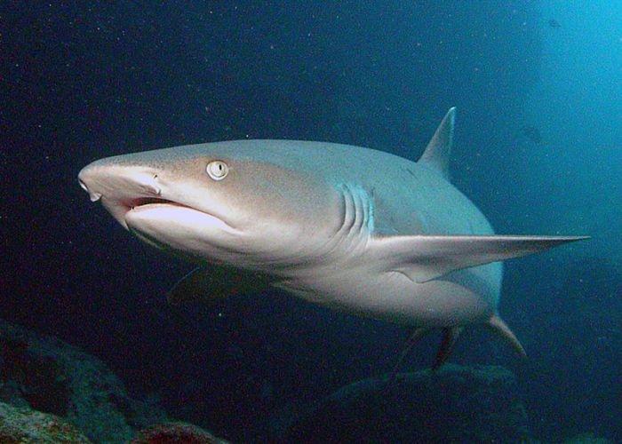 Tiburon de punta blanca imagenes