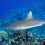 el tiburon gris esta en peligro de extincion, tiburón cañabota gris hexanchus griseus