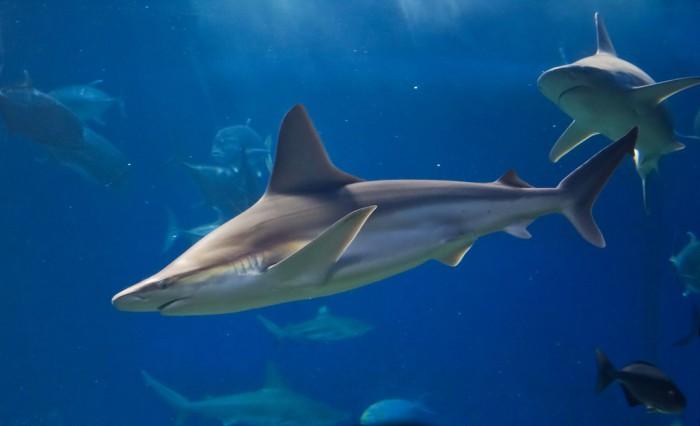 tiburon gris habitat, tiburon gris informacion, imagen tiburon gris, tiburón gris que come