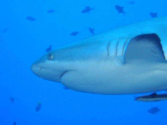 el tiburón gris ingles, caracteristicas de el tiburon gris, tiburon musola gris, tiburones grises maldivas