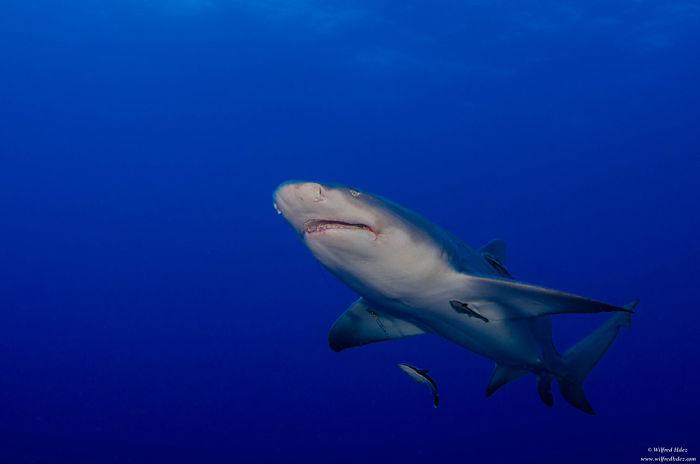tiburon limon maldivas, fotos del tiburon limon, fotos de tiburon limon, dientes de tiburon limon, imagen de tiburon limon, especies de tiburon limon