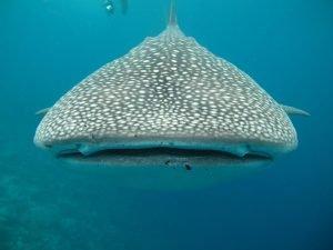 imagenes de tiburon ballena para dibujar, imagenes de tiburones ballena para colorear. imagenes para colorear de tiburon ballena