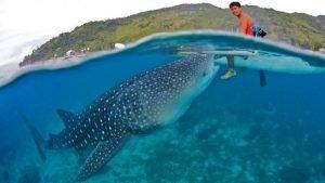 donde nadar con tiburon ballena en filipinas, donde nadar con tiburon ballena filipinas, nadar tiburon ballena filipinas, snorkel tiburon ballena filipinas, tiburon ballena filipinas agosto, tiburon ballena filipinas epoca, tiburon ballena filipinas noviembre, tiburon ballena filipinas oslob, tiburon ballena filipinas puerto princesa, tiburones ballena filipinas temporada, ver tiburon ballena en filipinas, ver tiburon ballena filipinas