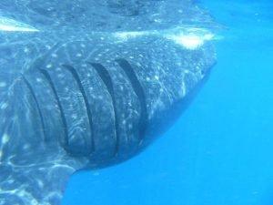 imagenes de la tiburon ballena, imagenes de pez tiburon ballena, imagenes de tiburon ballena atacando