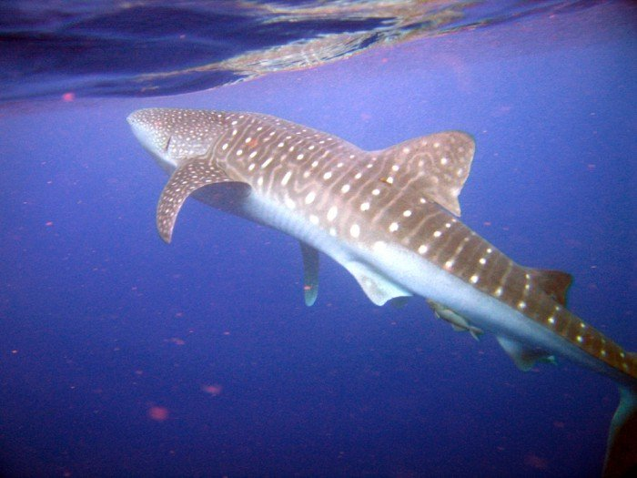 tiburon ballena utila, tiburon ballena en utila honduras, temporada tiburon ballena utila, tiburon ballena en utila