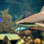tiburon de punta negra foto