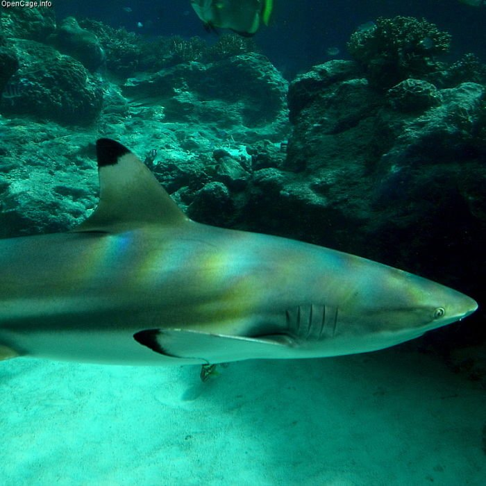 tiburon de punta negra fotos