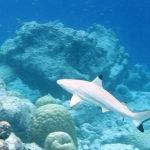 tiburon de punta negra imagenes