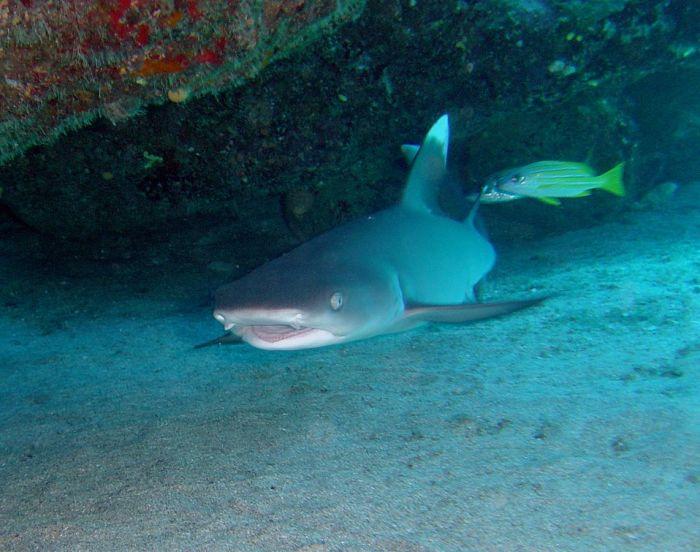 tiburon punta blanca oceanico