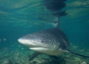 tiburón toro vive en agua dulce