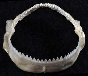 Dientes del tiburon cigarro