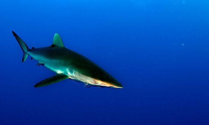 imagenes de tiburones cazando, imagenes de tiburones de la guaira, imagenes de tiburones dibujos