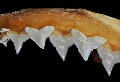 Mandibula superiror del tiburon sedoso