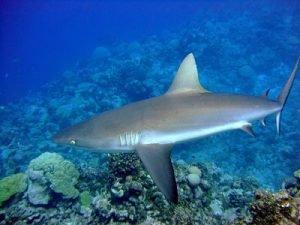 como nacen donde viven y que comen los tiburones
