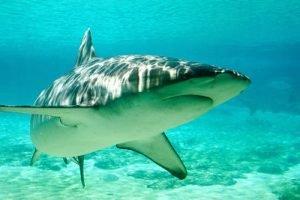 donde viven las tiburones y que comen