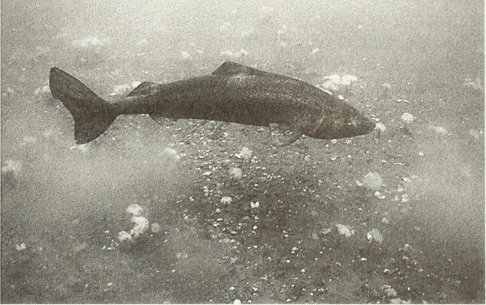 tiburón dormilón del pacifico imagen