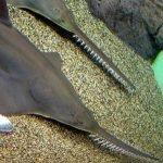 tiburon dientes de sierra
