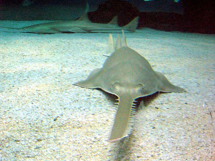 tiburon pez sierra