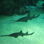 tiburón sierra atacando