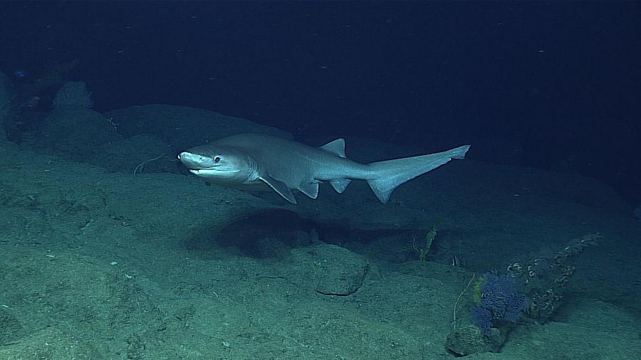 como nacen crecen y se reproducen los tiburones, como nacen que comen y donde viven los tiburones, q comen y como nacen los tiburones, como nacen los bebes de tiburones, como nacen los tiburones imagenes