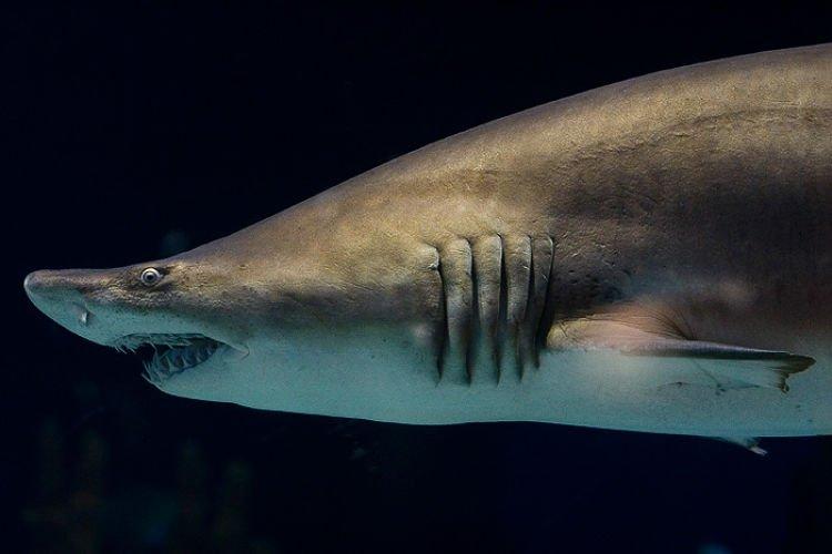 ¿ Cómo respiran el tiburón ?