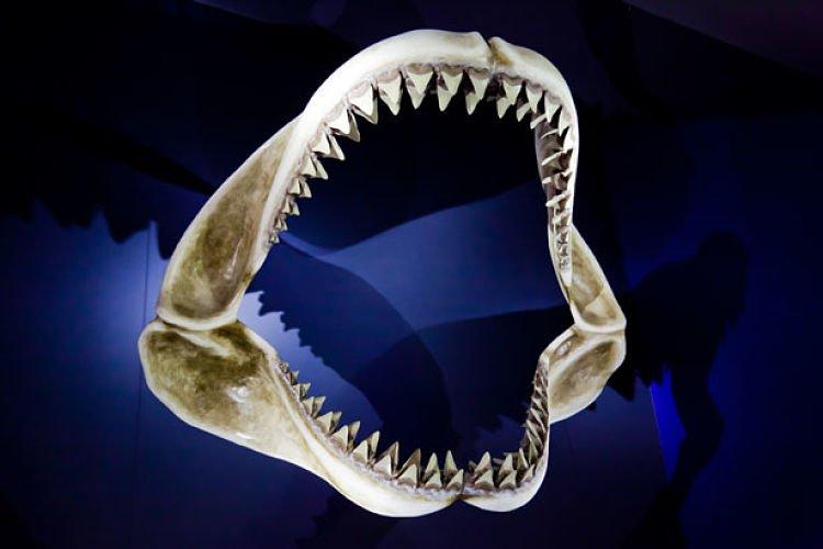 mandibula de tiburon, mandibula del tiburon, mandibula de un tiburon, mandibula de tiburon blanco