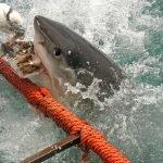 mordedura de tiburon blanco, mordida de tiburon blanco, mordida por tiburon,mordidas de tiburones fotos, mordidas de tiburones mortales, mordidas de tiburones reales
