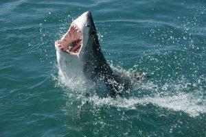 tiburon blanco en peligro de extincion causas, tiburon blanco en peligro de extincion informacion, tiburon blanco porque esta en peligro de extincion,animales marinos en peligro de extincion tiburon blanco, caracteristicas del tiburon blanco en peligro de extincion, por que se encuentra en peligro de extincion el tiburon blanco