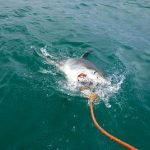 tiburon toro cazando, tiburon zorro cazando, tiburones blancos cazando, tiburones cazando ballenas