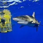 porque estan en peligro de extincion el tiburon blanco, porque tiburon blanco esta en peligro de extincion, tiburon blanco en peligro de extincion resumen, tiburon blanco por que esta en peligro de extincion, tiburón blanco se encuentra en peligro de extinción