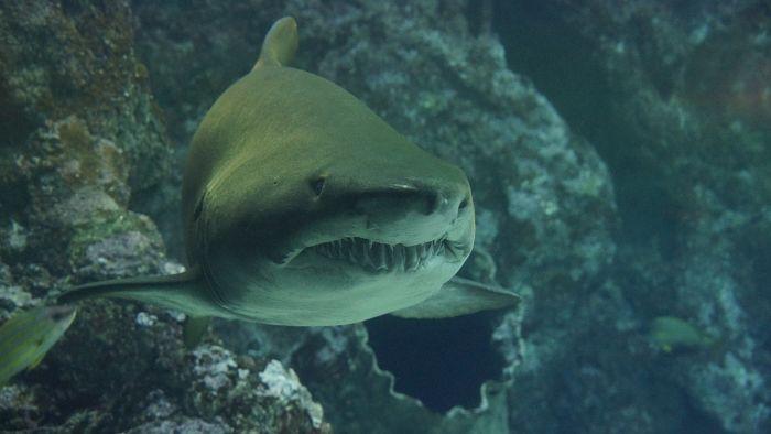 imágenes de tiburones de verdad, imagenes de los tiburones blancos, imagenes de los tiburones mas grandes del mundo y peligrosos